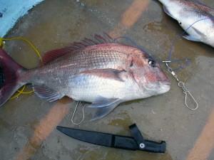 釣った真鯛