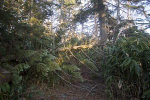 道をふさぐ倒木