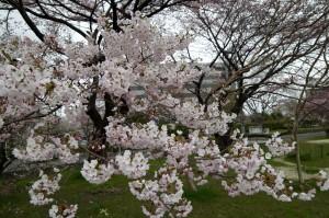 SAMYANG 14mm F2.8 IF ED UMC Aspherical 桜