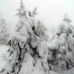 樹氷の子供